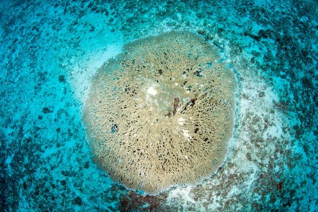 Tabela staghorn acropora coral no fundo do mar