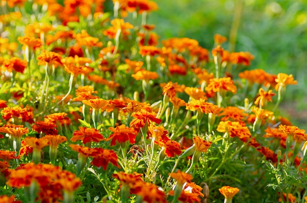 Tagetes erecta. flores de calêndula vermelha sobre um fundo verde. fundo floral bonito. foco seletivo.