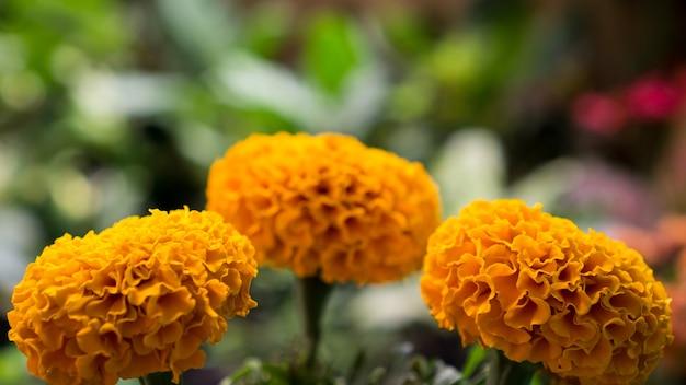 Tagetes flor de calêndula amarela