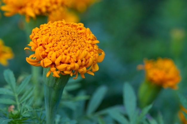 Tagetes laranja lindas flores. malmequeres