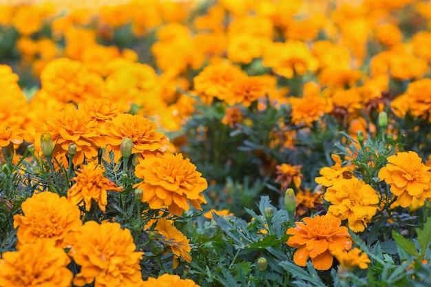 Tagetes laranja ou flores de calêndula fundo floral