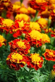 Tagetes patula calêndula em flor, flores amarelo-laranja, folhas verdes, planta em vaso pequeno