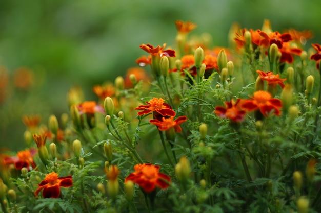 Tagetes patula. calêndula francesa. muitas flores nas cores laranja e marrons.
