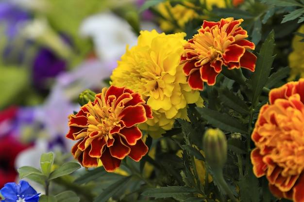 Tagetes patula no jardim. marigold - foco seletivo.