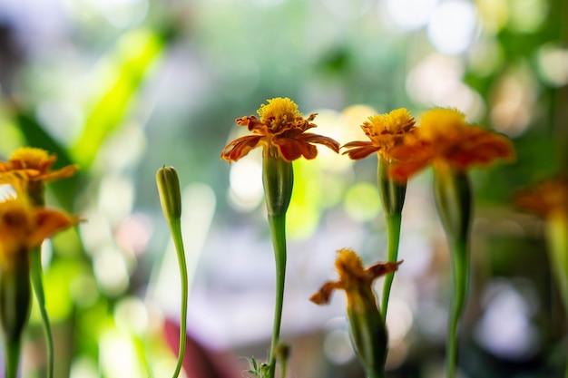 Tagetes patula, o calêndula francês, é uma espécie de planta com flor da família das margaridas
