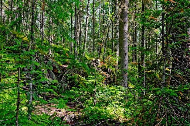 Taiga com pinheiros verdes nas montanhas do norte dos urais