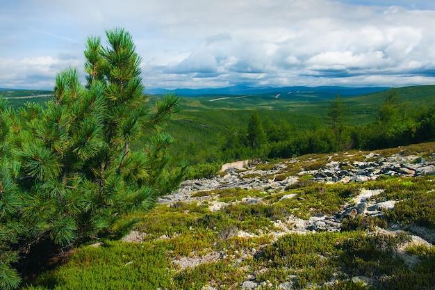 Taiga no verão com pedras cobertas de musgo e uma árvore de natal em primeiro plano.