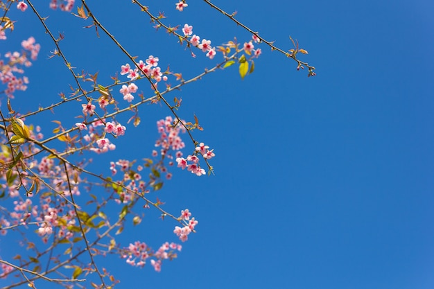 Tailândia sakura flor rosa na província de phetchaboon, tailândia