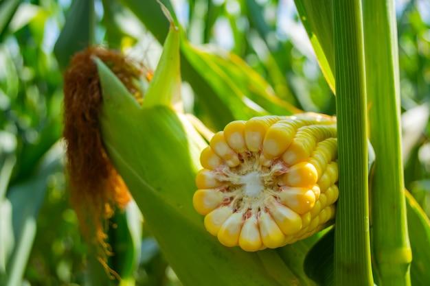 Talo de milho quebrado com haste fina e grão grande.
