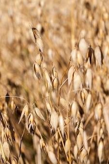 Talos amarelos secos de aveia durante o amadurecimento e prontidão para a colheita, close da colheita agrícola