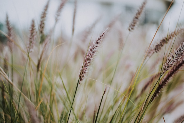 Talos de capim-roxo, pennisetum advena rubrum