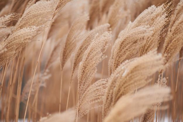 Talos de juncos secos no contexto do inverno.