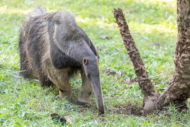 Tamanduá, animal fofo do brasil. tamanduá-bandeira, myrmecophaga tridactyla, animal com cauda longa e focinho de focinho