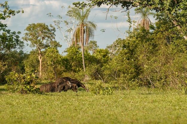 Tamanduá-bandeira incrível caminhando no habitat natural