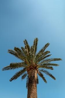 Tamareira no fundo de um céu azul claro, o conceito de verão, maquete, o plano de fundo para a inscrição. copie o espaço.