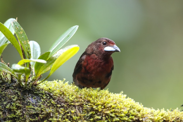 Tanager fêmea ou juvenil de bico prateado