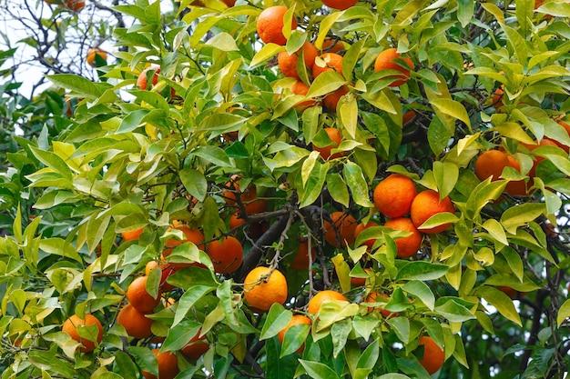Tangerina com frutos laranjais e folhagem densa.