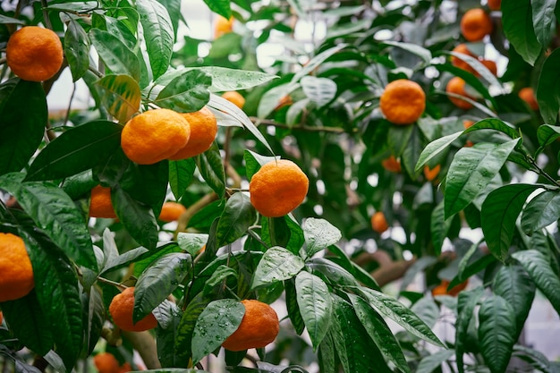 Tangerina. mandarim com frutos maduros.