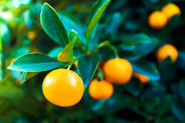 Tangerinas frescas maduras com folhas crescendo, pendurar em uma árvore, galho. colheita de frutas em um jardim. comida vegetariana ou vegetariana saudável. plantas cítricas, tangerinas. vitamina c.