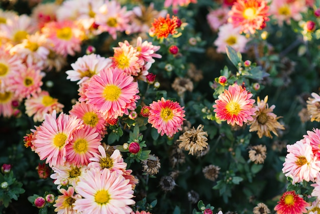 Tapete de crisântemos rosa e desbotados no jardim, jardim florescendo