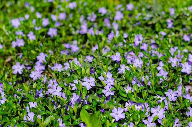 Tapete de flores azuis pervinca no prado da grama verde fresca