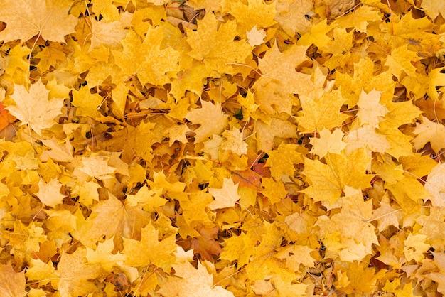 Tapete de folhas amarelas de bordos caídos no outono