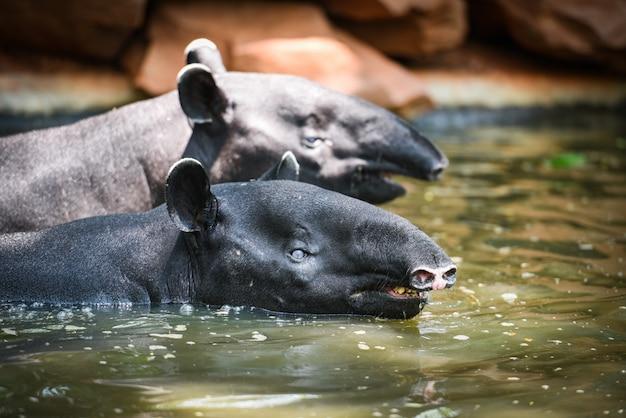 Tapir nadando sobre a água no santuário da vida selvagem - tapirus terrestris ou indicus malaio tapirus