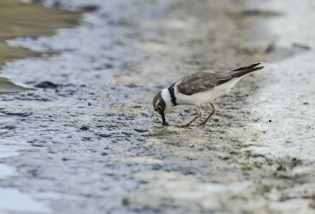 Tarambola-pequena charadius dubius