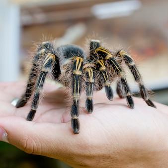 Tarantula mexicana redknee (brachypelma smithi), fêmea de aranha na mão humana