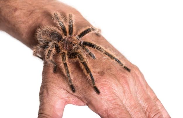 Tarântula na mão da pessoa contra a superfície branca