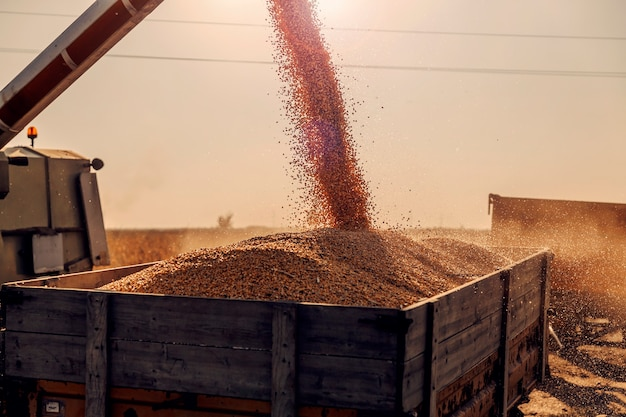 Tarde ensolarada de outono no milharal. uma máquina está despejando grãos de milho separados no caminhão-reboque após a colheita. colheita, cultivo e agricultura do milho