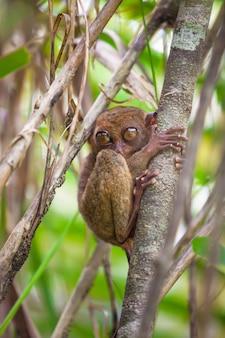 Társio engraçado pequeno na árvore no ambiente natural na ilha de bohol, filipinas