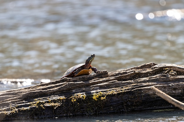 Tartaruga andando em uma árvore quebrada com um fundo desfocado