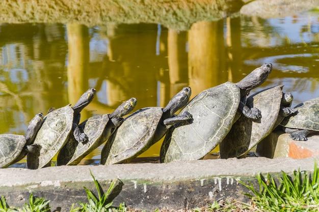 Tartaruga ao ar livre no rio de janeiro, brasil.