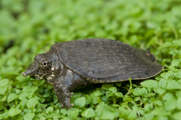 Tartaruga asiática softshell comum