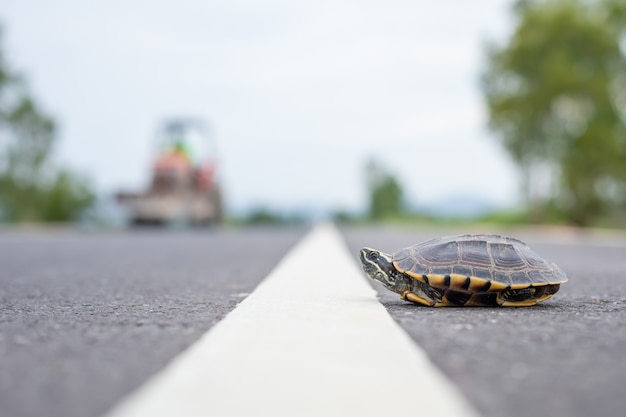 Tartaruga atravessando a rua