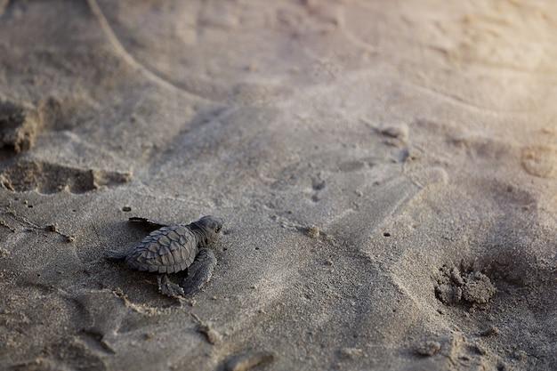 Tartaruga bebê na praia, indo para o mar