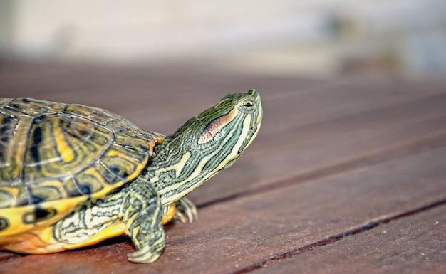 Tartaruga de água doce andando e olhando seu ambiente