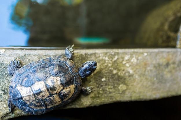 Tartaruga de água doce orelhuda vermelha - trachemys scripta elegans. tartaruga deslizante orelhuda vermelha na luz do sol de verão