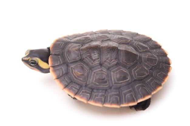 Tartaruga de barriga vermelha em branco