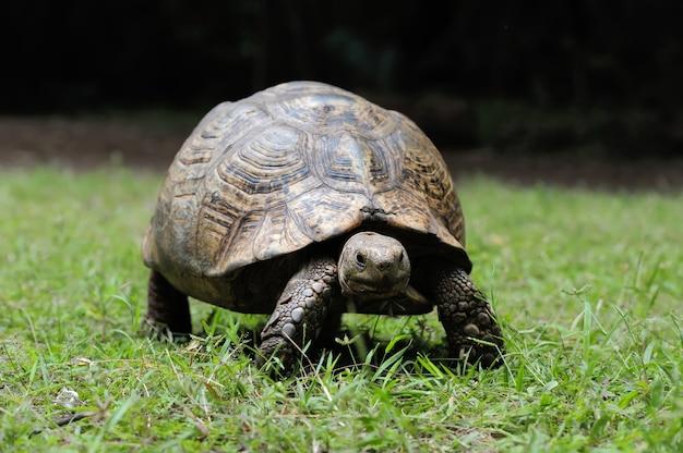 Tartaruga de espora africana na grama