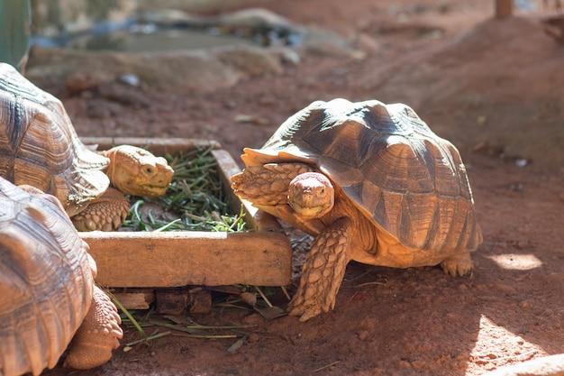 Tartaruga de sulcata, tartaruga de esporas africana (geochelone sulcata) é uma das maiores espécies de tartaruga do mundo.