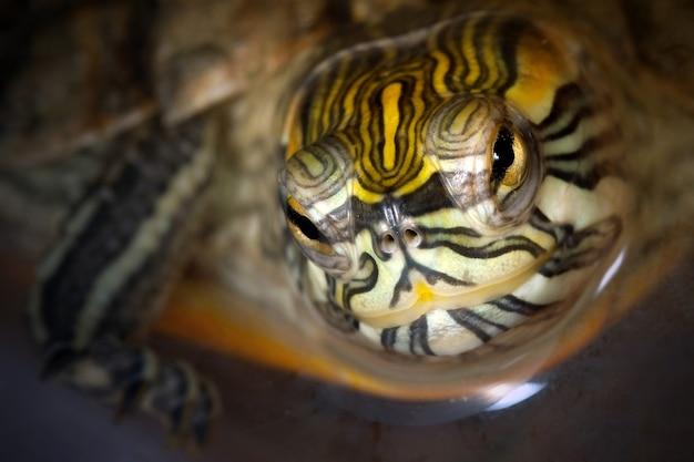 Tartaruga deslizante de barriga amarela nada na água e sorri para nós