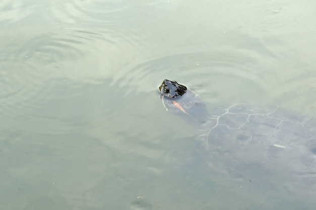 Tartaruga deslizante de barriga amarela (trachemys scripta elegans)