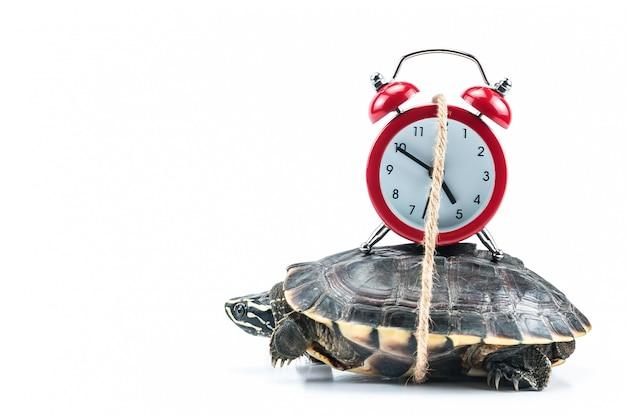 Tartaruga e relógio vermelho