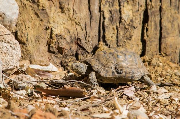Tartaruga em estado selvagem