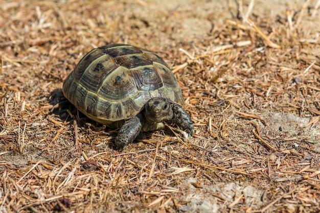 Tartaruga estepe mediterrânea na grama