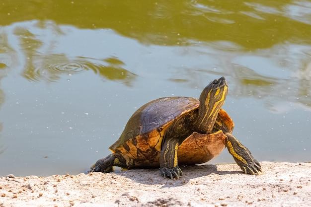 Tartaruga fofa saindo de um lago