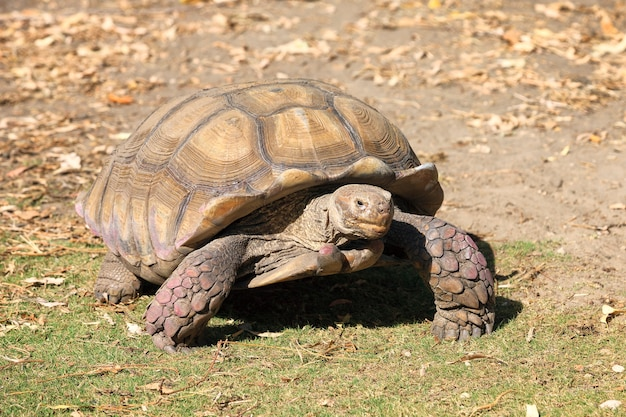 Tartaruga gigante caminhando na terra