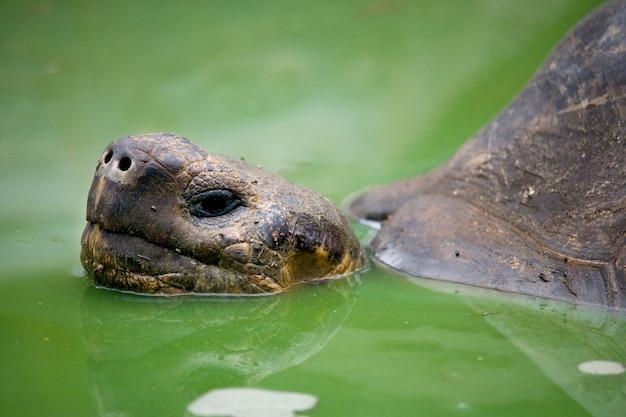 Tartaruga gigante das galápagos em uma poça
